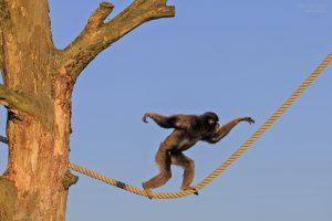 berber-monkey-226884_960_720